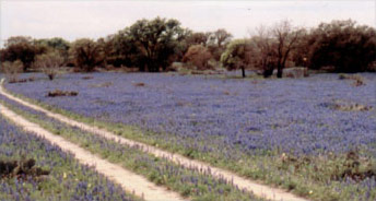 Field of Blue Bonnets